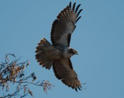 Red-tailed Hawk (PS)