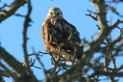 Rough-legged Hawk (TC)