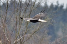 Northern Harrier (GB)