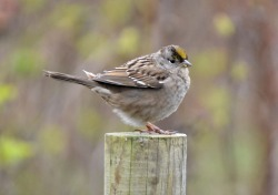 GB_Golden-crowned Sparrow