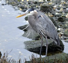 Great Blue Heron (GB)