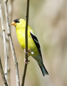 American Goldfinch (BA)