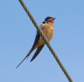 Barn Swallow (BA)