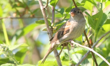 House Sparrow (JK)