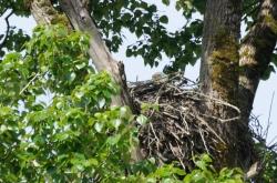 Bald Eagle in nest (JM)