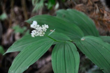False Solomon's seal (KB)
