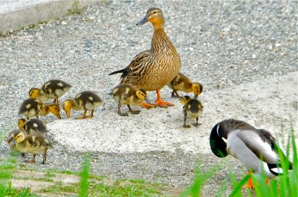 Mallard (f) & ducklings (KB)