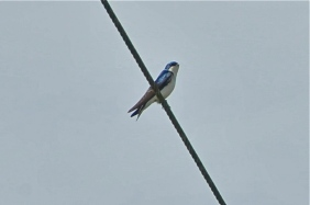 Tree Swallow (KB)