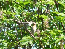 House Finches (LS)