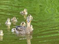 Mallard (f) & ducklings (LS)