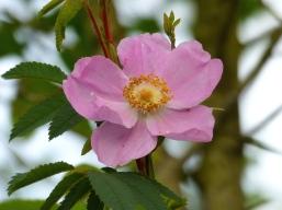 Rose (MSh)