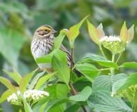 Savannah Sparrow (N&D)