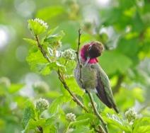 Anna's Hummingbird (m) (N&D)