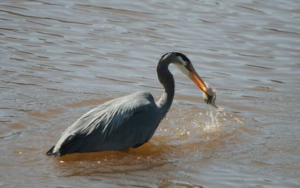 Great Blue Heron catches flounder (PS)