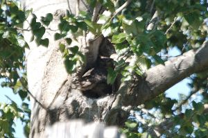 Great Horned Owl (f) in nest hole (PS)