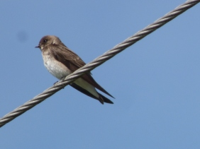Northern Rough-winged Swallow (RM)