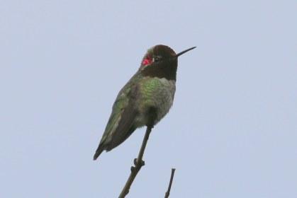 Anna's Hummingbird (m) (TC)
