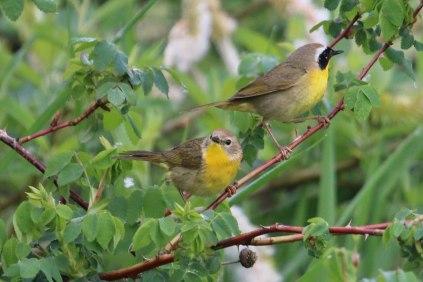 Common Yellowthroat pair (TC)