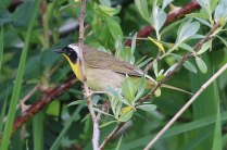 Common Yellowthroat (TC)
