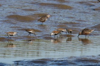 Dunlin & Long-billed Dowitchers (TC)