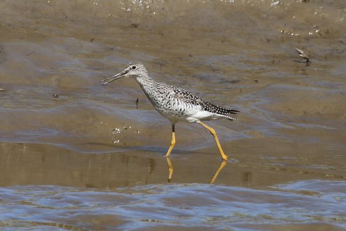 Greater Yellowlegs (TC)