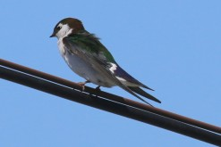 Violet-green Swallow (TC)