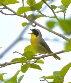 Common Yellowthroat male (BA)