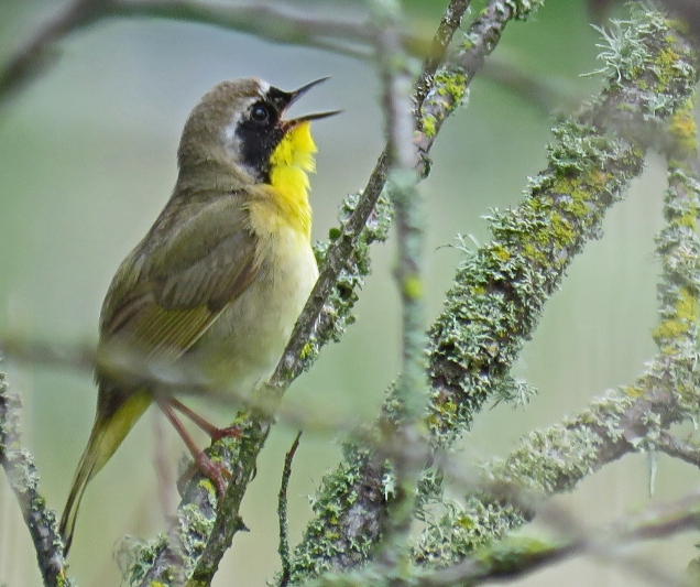 Common Yellowthroat male (DH)