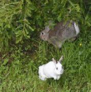 Rabbits (GB)