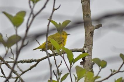 Yellow Warbler (GB)