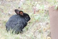 Black rabbit with ear tattoo - 7019 ERB (Pat)