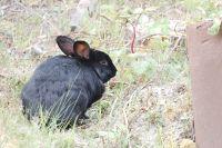 Black rabbit with ear tattoo - 7019 ERB (Pat)