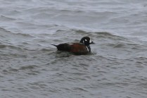 Harlequin Duck (TC)