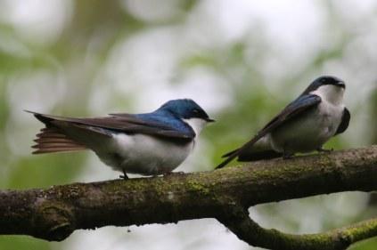 Tree Swallow (TC)