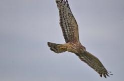 Northern Harrier (GB)