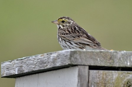 Savannah Sparrow (GB)