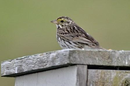 Savannah Sparrow (GB)