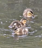 Mallard ducklings (GB)