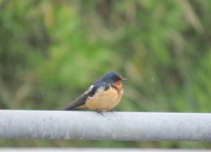 Barn Swallow (JK)