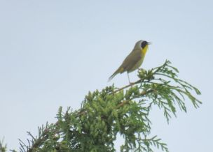 Common Yellowthroat (JK)
