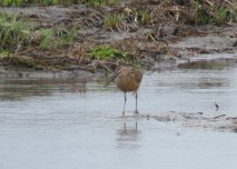 Long-billed Dowitcher (JK)