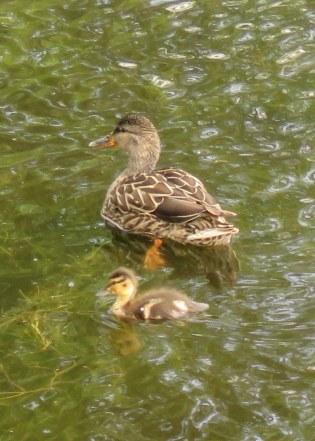 Mallard & duckling (JK)