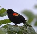 Redwinged Blackbird (MS)