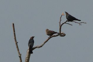 Brown-headed Cowbirds (PS)
