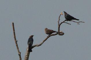 Brown-headed Cowbirds (PS)