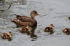 Gadwall hen & ducklings (PS)