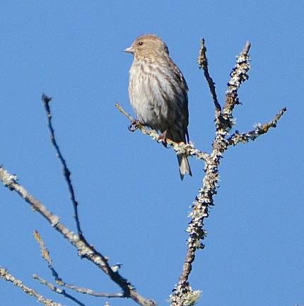 Purple Finch f. (BA)