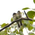 Flycatchers (BA)