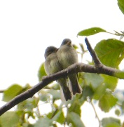 Flycatchers (BA)
