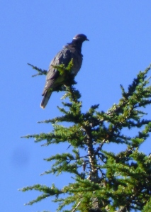 Band-tailed Pigeon (RM)